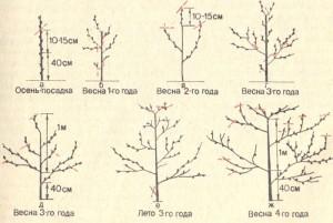 Схема формирования кроны персика. (Для увеличения нажмите)