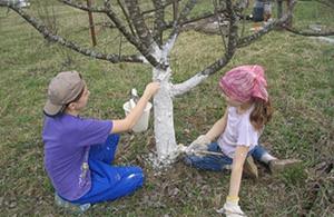 Побелка ствола абрикосового дерева