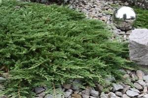 Если можжевельнику обеспечить качественный дренаж, он сможет расти на любом типе почвы