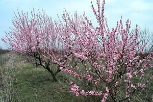 Взрослые персиковые деревья