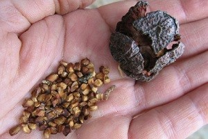 Размножение туи семенами в домашних условиях