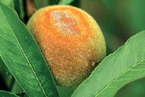 Парша на персике