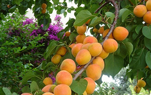 """Сорт абрикоса """"Амур"""""""