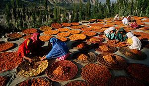Женщины из пакистанского племени хунза сушат абрикосы
