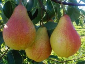 Созревающие плоды груши Вильямс