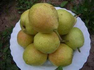Плоды груши сорта Лада
