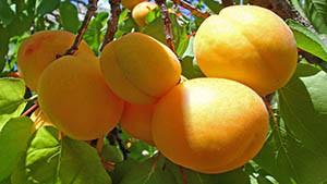 Здоровые плоды абрикоса