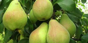 Плоды груши сорта Сказочная