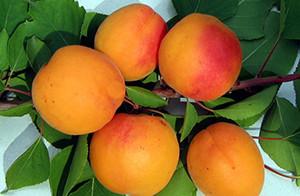 """Сорт абрикоса """"Снежинский"""""""
