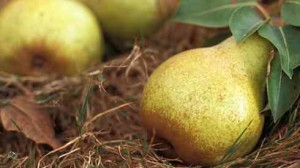 Плоды груши сорта Москвичка