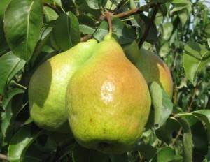 Плоды груши сорта Ноябрьская