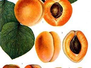 Размер плодов крупный, окрас золотисто-оранжевый, мякоть плотная, ароматная, сладкая