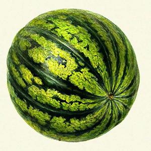 Плоды блестящие округлой формы, темно-зеленого окраса