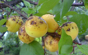Пораженный монилиозом абрикос