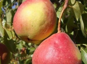 Плоды груши сорта Мраморная
