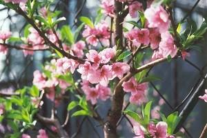 Цветение нектарина Фантазия