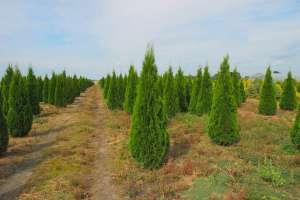 Описание туи Колумна - особенности растения и советы по посадке