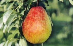 Плоды груши сорта Лесная красавица