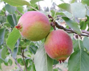 Плоды груши сорта Красуля
