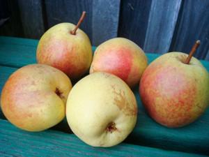 Плоды груши сорта Рогнеда