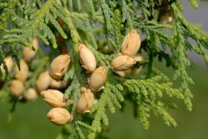 Thuja_occidentalis_-_cone_-300x200
