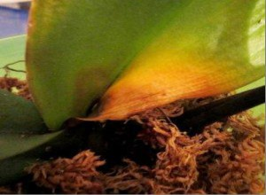 Так выглядит лист орхидеи, поврежденный инфекцией