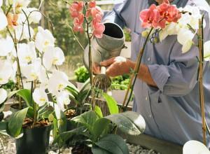 Важно не перепоить цветущую орхидею