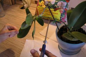 Как пересадить детки орхидею в домашних условиях