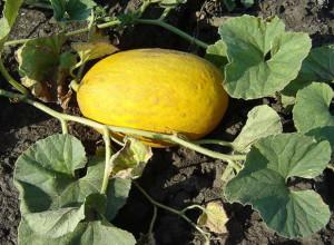 Для посадки в центральных и северных районах брать семена из дынь, привезенных с юга не стоит, – они не дадут желаемого урожая. Семена должны быть районированными – выведенными для определенной местности