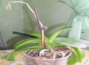 Орхидея Фаленопсис после цветения