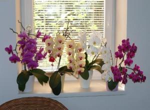 Орхидея Фаленопсис в условиях дома
