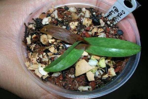 Базальная гниль орхидеи, возникшая из-за неправильного полива