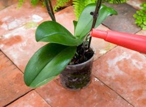 Частота полива орхидей зависит от множества факторов