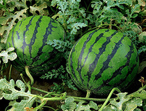 good_watermelon_06
