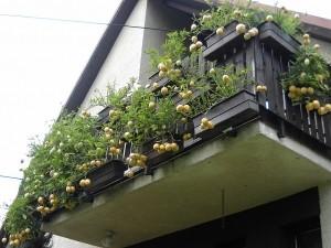Пепино можно выращивать даже на балконе