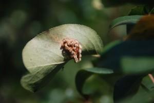 Нарост на листьях