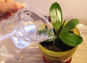 От качества поливочной воды зависит рост и здоровье орхидеи
