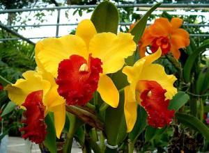 Листок-губа орхидеи Каттлея заметно выделяется на фоне общего окраса цветка