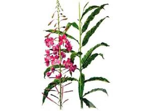 Растение кипрей узколистный