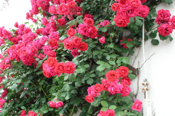 Плетистая роза Paul's Scarlet Climber
