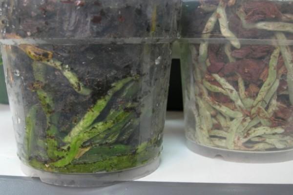 Если корни зеленые – влаги достаточно, если стали серыми – растение необходимо полить