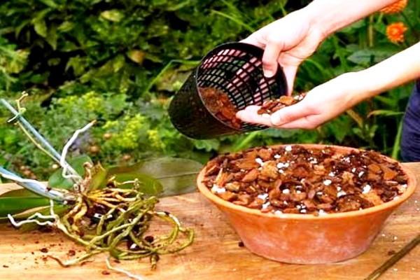 Корни орхидеи очень чувствительны и довольно долго восстанавливаются, поэтому не стоит беспокоить растение без надобности