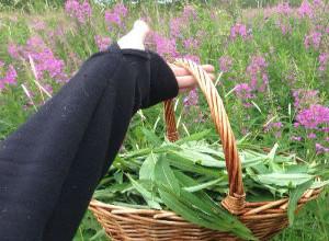 Корзина свежесобранных листьев иван-чая