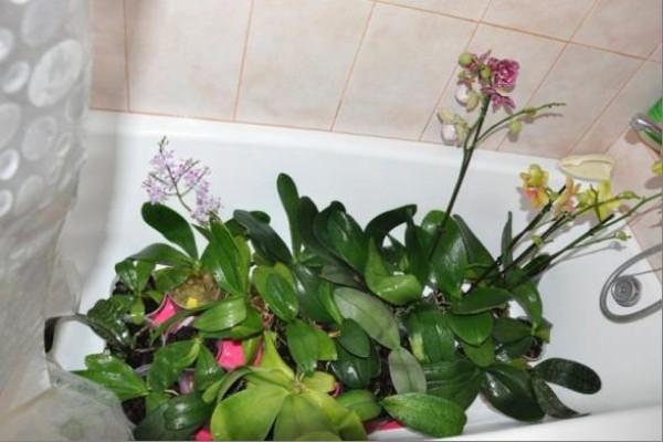 При купании орхидей следите, чтобы в ванной комнате не было сквозняков, а температура воздуха составляла не ниже 20ºС