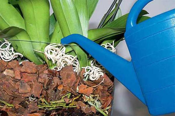 Следите, чтобы во время полива вода не попадала в центр растения