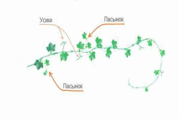 Схема прищипки дыни