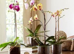 Если света будет мало, орхидея не будет цвести