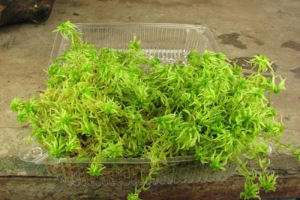 Так выглядит мох сфагнум