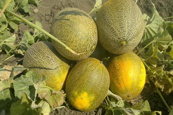 На корню до созревания оставляют три первых плода дыни. Плеть далее прищипывают, чтобы она не росла дальше, а все питательные вещества поступали в оставленные плоды. Тогда дыни вырастут крупные и сладкие