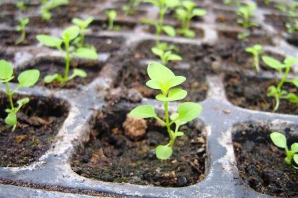 Некачественный грунт может быть взят и из теплиц, куда вносили большое количество удобрений, что чревато и большим содержанием солей. Такая почва при подсыхании будет образовывать белый налет